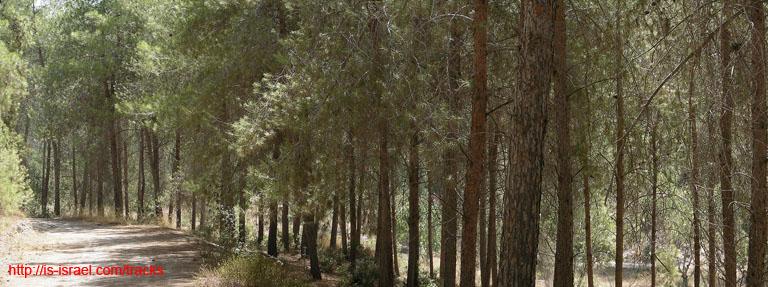 Хвойный участок леса Харель