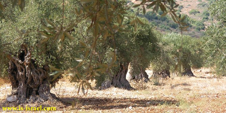 Старая оливковая роща по дорге